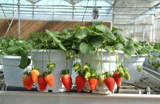 红花草莓盆景极具观赏和开发价
