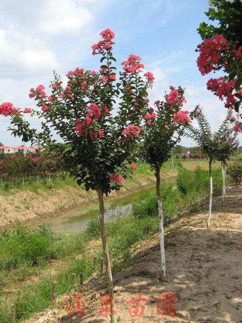 """树冠不到2米的""""百日红""""风景树卖3.4万元"""