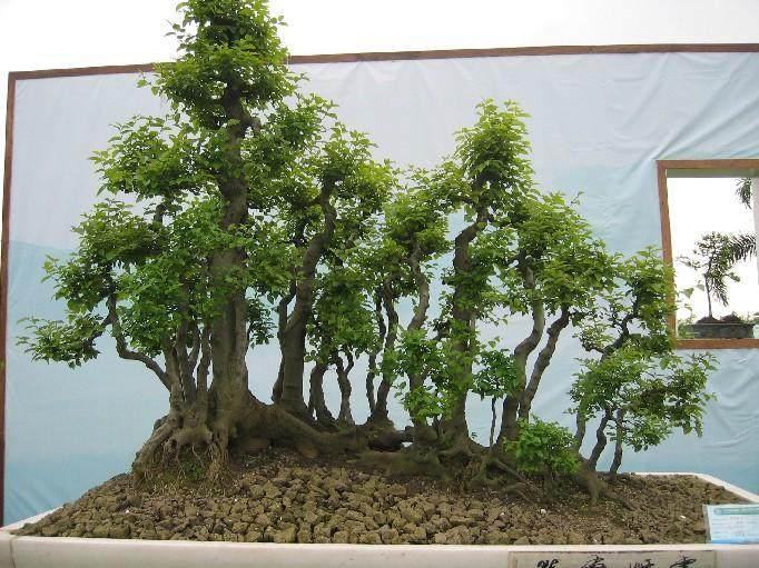 汪老汉开始钻研树桩盆景的培植技术