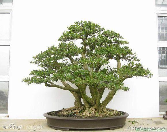 丛林式盆景的适用树种有哪些
