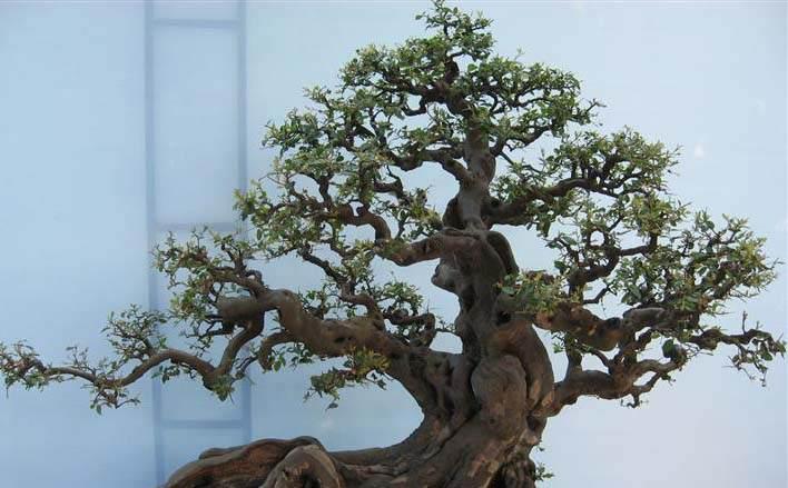 榆树盆景在参展前的养护准备