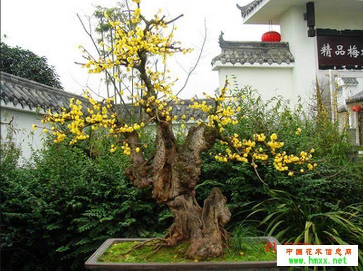 梅花盆景在夏季怎么养护的方法 图片