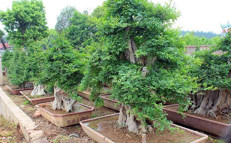 对节白蜡老桩盆景生根发芽的2个方法