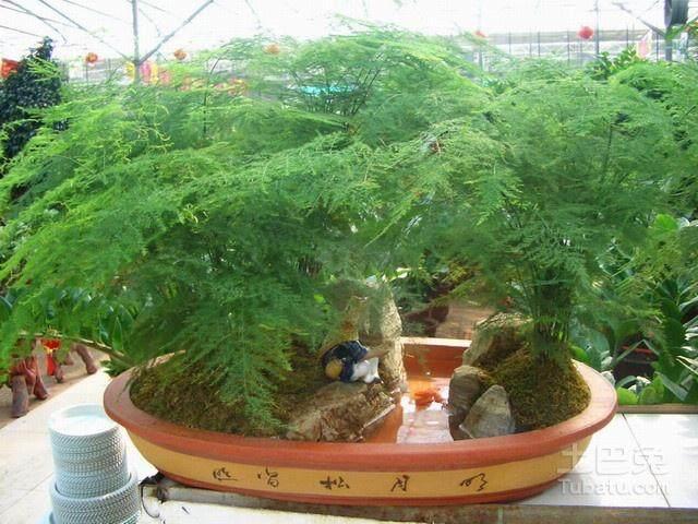 文竹盆景在北京盆景市场非常受欢迎