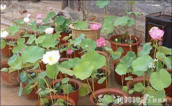怎样栽种盆养荷花?