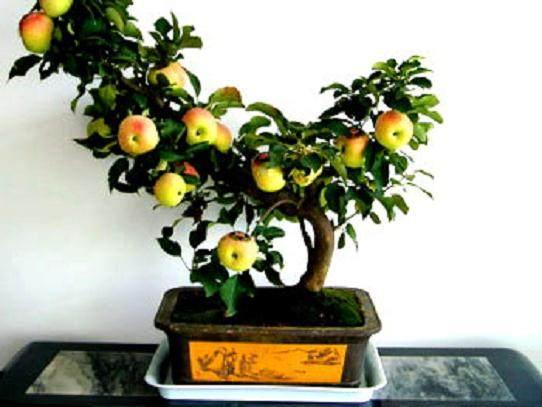 漳州市民花卉市场选购苹果盆景祈求平安 外形讨