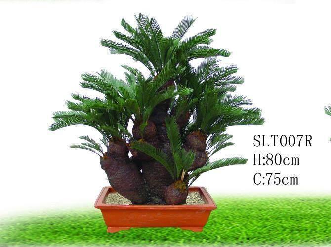 我刚买了小铁树盆景能在楼房室内养护吗?
