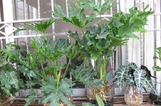观叶盆景植物冬季养护