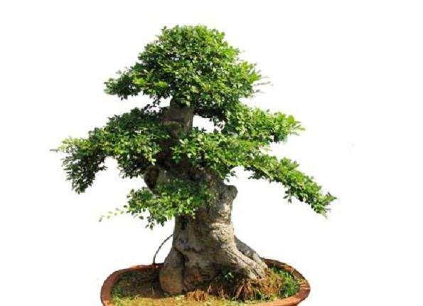 冬季榆树盆景的管理
