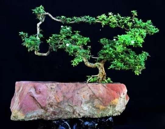 石栽盆景——自然美与艺术美的统一1