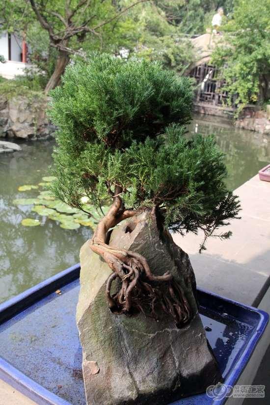 曾赵园石栽盆景 图片