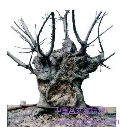 朴树盆景怎么制作造型的方法