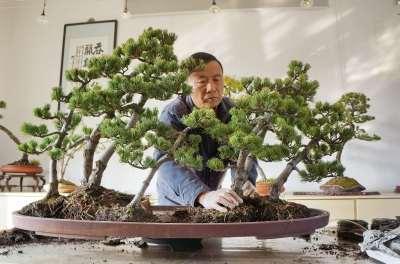 赵庆泉在修剪盆景