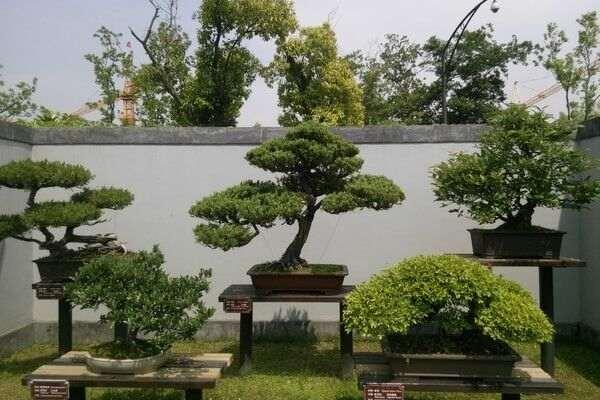 扬州的扬派盆景因其精湛的技艺,典雅的造型