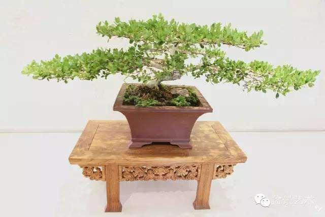 大叶黄杨盆景的制作与管理
