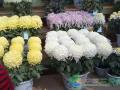 菊花盆栽怎么培育要领和养殖方法