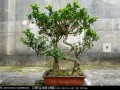 沙西镇是国家林业局命名的中国榕树盆景之乡