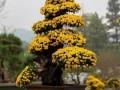 原来菊花盆景也可以很美