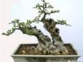 春季榔榆树桩盆景的制作培育