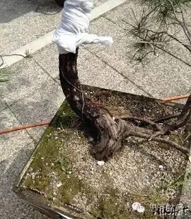 盆景大枝怎么拿弯的技巧