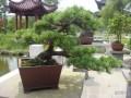 五针松盆景怎样上盆栽植的方法 图片