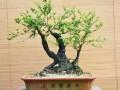 解惑:淘宝所出售的小叶紫檀盆景究竟是什么?