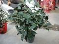 盆栽山茶花怎么高压繁殖的方法