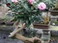 适宜山茶花盆栽用的土壤及材料(上)