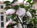 盆栽山茶花的根部覆盖发芽保湿的方法