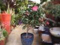盆栽山茶花管理要注意通风透气