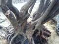 如何提高下山桩的生根成活率的4个方法