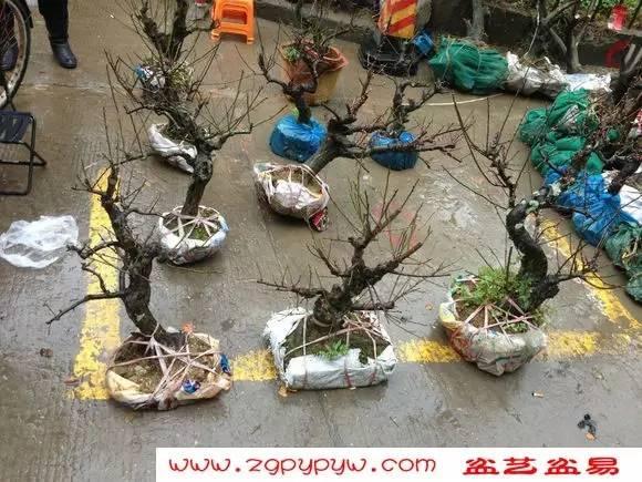 """""""三水盆景协会""""成立之----下山桩市场"""
