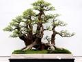 对节白蜡老桩盆景的发芽造型与养护