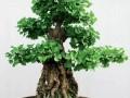 长江中下游地区杂木盆景发芽养护12方法