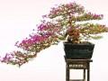 博艺园|形色兼备的三角梅盆景