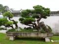 中国盆景艺术鉴赏的特点
