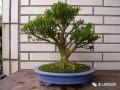 雀舌黄杨盆景扦插后怎么栽培制作的方法