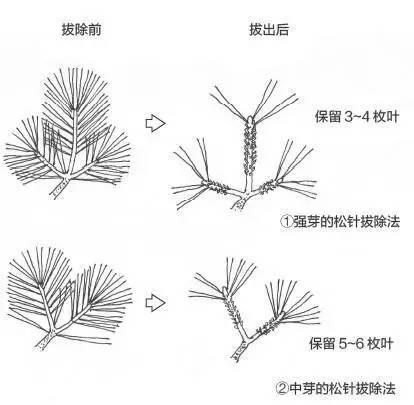 黑松盆景松针发芽短叶修剪方法