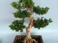 米叶罗汉松盆景怎么造型上盆的方法