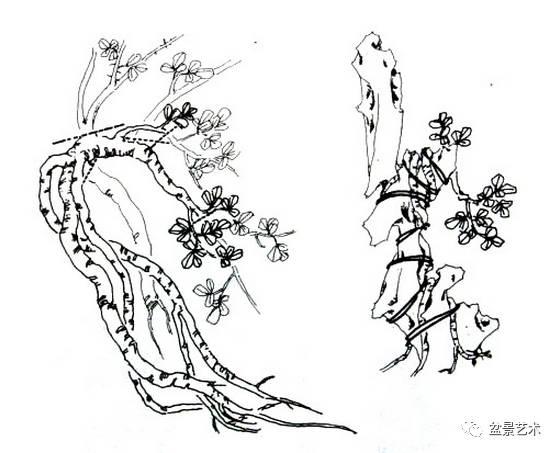 雀梅双干式盆景制作图解