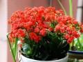 家里室内养盆景 为什么总不开花?