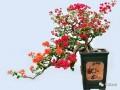 姹紫嫣红的三角梅盆景与美丽有约