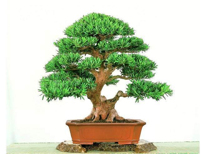 安徽祁门县发现一株古罗汉松 树龄高达千年左右