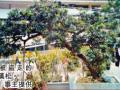 高价罗汉松盆景被连根拔走 主人种40年
