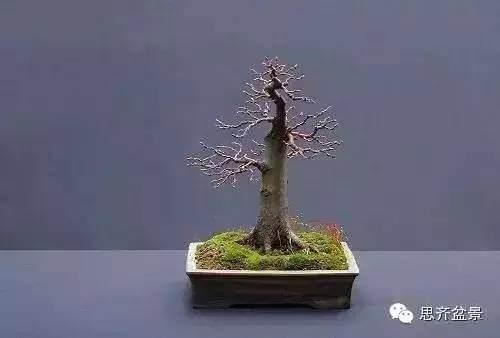 如何扦插柏树盆景小苗