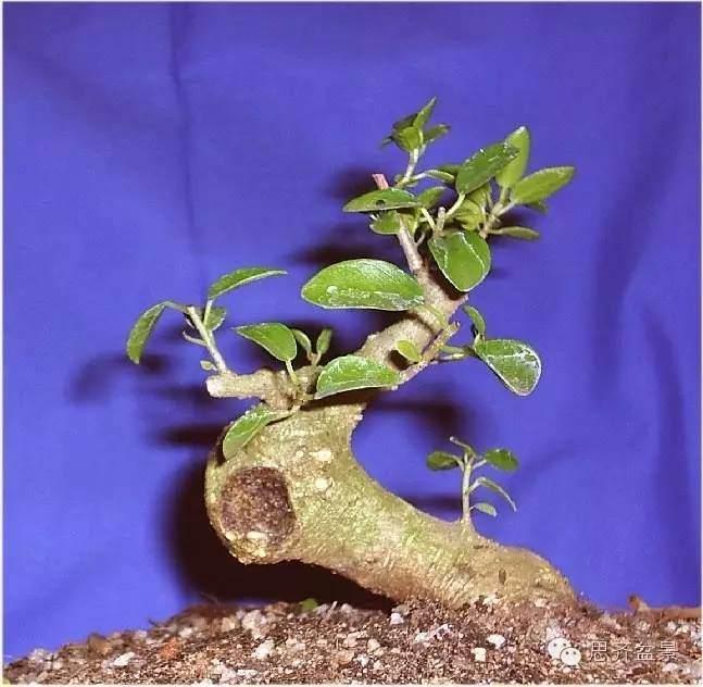 榕树下山桩怎么修剪成盆景的方法