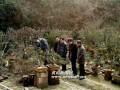 安徽歙县:红梅枝头闹 盆景引客来