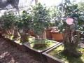 安徽:徐红专的榔榆盆景市场价格已达到3万多元