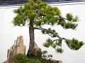百年的黄山松盆景
