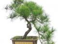 现有九盆价值近百万元的黄山松盆景被盗 注意安全